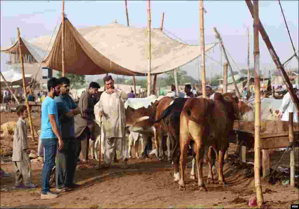 کراچی: آخری روز بھی شہریوں کی بڑی تعداد مویشی منڈی میں جانوروں کے بھاو تاو کرتی نظرآئی