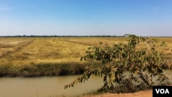 វាលស្រែនៅតាមបណ្តោយផ្លូវទៅកាន់បន្ទាយទាហានក្នុងឃុំត្រាំសសរ ស្រុកស្រីស្នំ ខេត្តសៀមរាប។ (Julia Wallace/VOA Khmer)