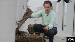 加勒特观察他的牡蛎 (VOA卫视袁美拍摄)