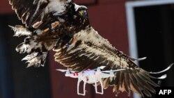 Aigle de la police néerlandaise entrainé à attraper un drone, le 12 septembre 2016.