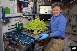 페기 윗슨이 국제우주정거장(ISS) 체류 중 지난 5월 '트위터'에 올린 사진. 배추 재배 실험을 하는 모습이다.