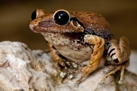 Another rediscovery by the Conservation International Team, the Macaya Burrowing Frog, lays its eggs underground.