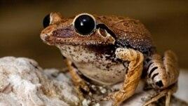 Certaines espèces de grenouilles produisent des mélanges d'antibiotiques puissants dans leurs peaux