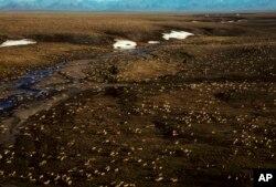 알래스카 북극 야생동물 보호구역에서 순록들이 무리 지어 모여 있다.