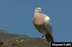 میلبورن کے ایک مکان کی چھت پر کبوتر بیٹھا ہے۔ 14 جنوری 2021