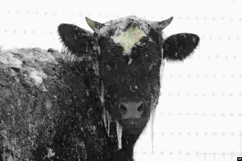 A cow stands in pasture during a winter snow storm in Salisbury, Pennsylvania, March 14, 2017.