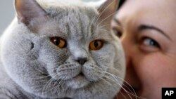 A british shorthair cat named Baileys enjoys a cuddle from owner Irina Etec during the world cat exhibition in Dortmund, Germany, Sunday April 21,2013. (AP Photo/Frank Augstein)