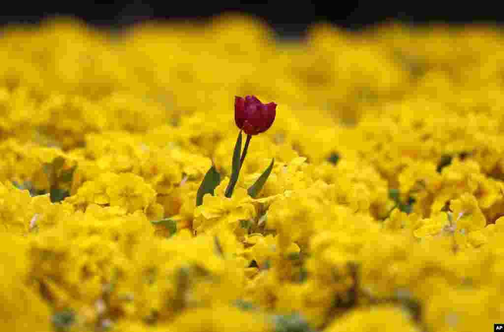 Setangkai bunga tulip merah menyembul di antara bunga-bunga warna kunning di taman kota London, Inggris.