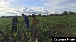 The armyworm invasion has attrached a lot of media attention in Zambia. (Courtesy - Derrick Sinjela in Zambia)
