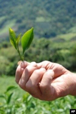 台灣出產的茶葉