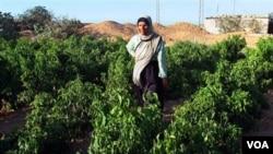 Warga Palestina, Fatma Khalaf berdiri di pertanian keluarganya seluas 20 hektar di luar kota Gaza (foto: dok).