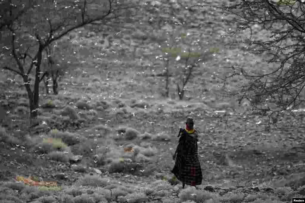A Turkana man walks through a locust swarm near the town of Lodwar, Turkana county, Kenya, June 28, 2020.