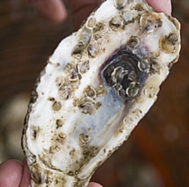 Those tiny pimple like bumps on the shell mature into oyster clumps and are planted in a marine sanctuary to live out their lives undisturbed.