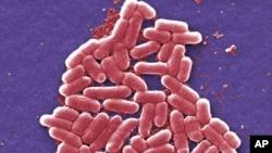 Mikroskopski snimak Centara za kontrolu i prevenciju bolesti: Kultura bakterije ešerišija koli