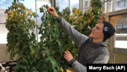 In this February 14, 2019 photo, Colton Welch, a junior at the State University of New York at Morrisville, New York, tends hydroponic tomato plants which will provide students with data applicable to cannabis cultivation.