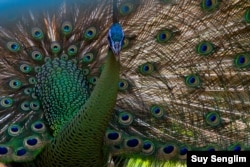 The endangered peafowl with significant populations only in Cambodia, Vietnam and Myanmar, has declined due to hunting, high demand of live birds, feathers and habitat fragmentation. It also exists in Thailand, Laos, China and Indonesia. (Photo by Suy Senglim)