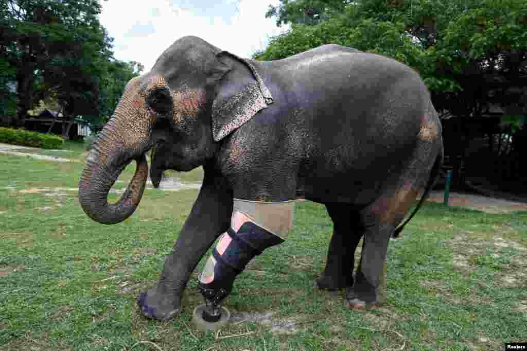 សត្វដំរី Motola ដែលត្រូវបានរងរបួសដោយមីនកប់ក្នុងដី ពាក់ជើងសិប្បនិមិត្តនៅអង្គការ Friends of the Asian Elephant Foundation ក្នុងក្រុង Lampang ប្រទេសថៃ កាលពីថ្ងៃទី២៩ ខែមិថុនា ឆ្នាំ២០១៦។