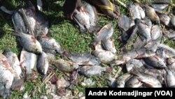 Des poissons frais se vendent à même le sol à N'Djamena, au Tchad. (VOA Afrique/André Kodmadjingar).
