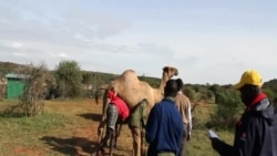 Drawing Blood from a Camel at Mpala Research Centre