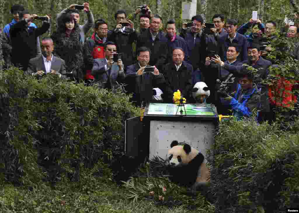 People take pictures of the two-year-old giant panda Xuexue before it is sent back to the wild at Liziping natural reserve, in Ya'an, Sichuan province, China.