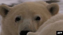 Những chú gấu bắc cực đang lâm nguy