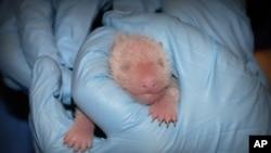 지난 25일 미국 워싱턴 국립동물원에서 촬영한 새끼 판다의 모습. 사흘 전 태어났다.