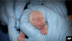 In this photo provided by the Smithsonian's National Zoo, a member of the Zoo's panda team performs the first neonatal exam Sunday, Aug. 25, 2013, on a giant panda cub born two days prior in Washington.