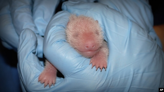 In this photo provided by the Smithsonian's National Zoo, a member of the panda team at the Smithsonian's National Zoo performs the first neonatal exam Sunday, Aug. 25, 2013, on a giant panda cub born Aug. 23, in Washington.