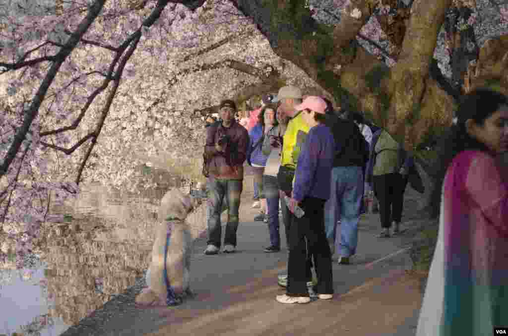 A visitor attempts to photograph his dog under the cherry trees at the Tidal Basin, Washington, DC, April 13, 2014. (Elizabeth Pfotzer/VOA)