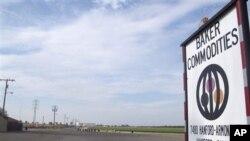 Penyakit sapi gila ditemukan di sebuah perternakan sapi perah di Hanford, California (24/4).