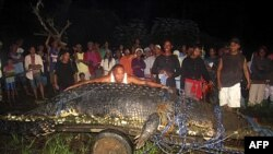Cá sấu khổng lồ bị bắt tỉnh Sur, miền nam Philippines, ngày 4 tháng 9, 2011