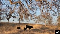 Des bœufs américains broutant de l'herbe dans une ferme, 5 novembre 2012.