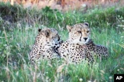 Some South African conservationists are also restocking game reserves with populations of cheetah, which were last seen in the Eastern Cape area in the late 1800s