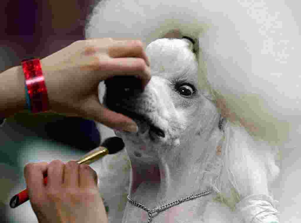 Sophie, de la raza Standard Poodle, es maquillada antes de su caminata.