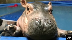 In this April 12, 2017 photo provided by the Cincinnati Zoo & Botanical Gardens, Fiona a prematurely born hippopotamus, swims in her quarantine enclosure at the Cincinnati Zoo & Botanical Gardens in Cincinnati. (Courtesy Cincinnati Zoo & Botanical Gardens