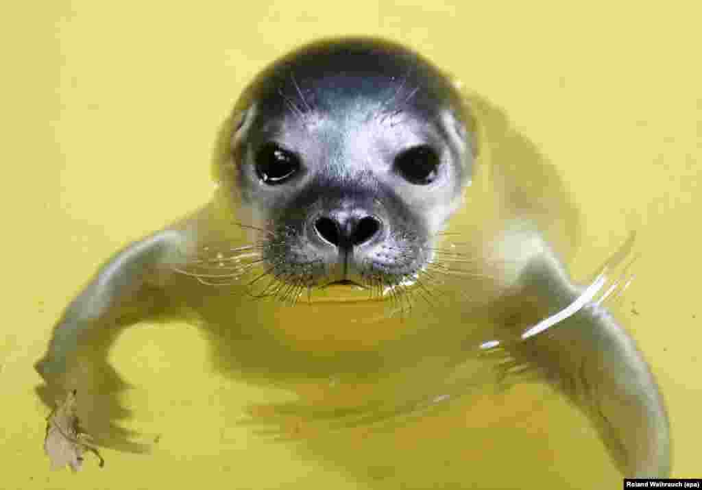 Bébé foca de 5 dias de idade nada no Jardim Zoológico de Duisburg, na Alemanha.