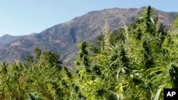 Des plants de cannabis dans le village marocain de Bni Hmed, au nord du pays, le 14 septembre 2014.