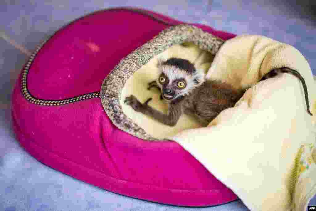 កូនសត្វប្រភេទ lemur ដែលគេដាក់ឈ្មោះថាHeather កំពុងអង្គុយក្នុងប្រអប់កម្ដៅ នៅសួនសត្វAffenwald Straussberg ក្នុងទីក្រុងStraussberg ភាគកណ្ដាលនៃប្រទេសអាល្លឺម៉ង់។