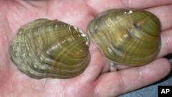 In this May 10, 2005, photo, shells from tubercled-blossom pearly mussels (Epioblasma torulosa) collected from the Ohio River are held at Chase Studio in Cedarcreek, Mo. The freshwater mussel is among 23 species that U.S. wildlife officials say have gone