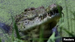 A large male crocodile watches a crowd gathered for feeding time at Darwin's Crocodile Farm located 100 kilometers south of Darwin, Australia. (2005 file photo)
