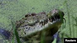 Crocodile feeds at Darwin's Crocodile Farm in Australia.
