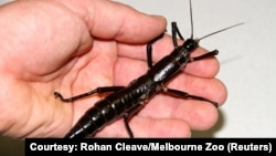 An adult female Dryococelus australis, also known as the Lord Howe Island stick insect which was once declared extinct, is shown in this undated photo released Oct. 5, 2017.