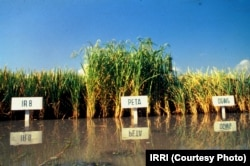 Mature rice fields of Peta, IR8 and DGWG varieties.