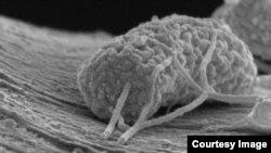 Un microbio aferrado a un filamento de carbono actúa como un eficiente conductor eléctrico.