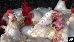 10,9 millones de aves han sido sacrificadas sanitariamente para evitar la extensión del brote. Durante esta semana, se aplicarán 90 millones de dosis de vacunación en estos animales con el mismo fin.