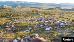 Dead wild reindeer are seen on Hardangervidda in Norway, after lightning struck the central mountain plateau and killed more than 300 of them, in this handout photo received on August 28, 2016. (Credit: Havard Kjotvedt/SNO/Miljodirektoratet/NTB Scanpix)