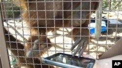 Seekor urangutan di kebun binatang di Miami, Florida tengah diajari menggunakan iPad oleh seorang petugas (foto: dok).