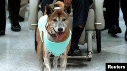 "FILE - Thailand's King Bhumibol Adulyadej's dog at Siriraj Hospital in Bangkok, Feb. 27, 2010. A factory worker was charged charged Monday with making a ""sarcastic"" Internet post related to the king's pet."