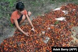 Asnimawati, gadis 13 tahun, bekerja di perkebunan kelapa sawit di Pelalawan, Provinsi Riau. (Foto: AFP/Adek Berry)