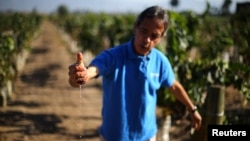 A man squeezes juice from grapes at a vineyard near Santiago, Chile, April 6, 2017.